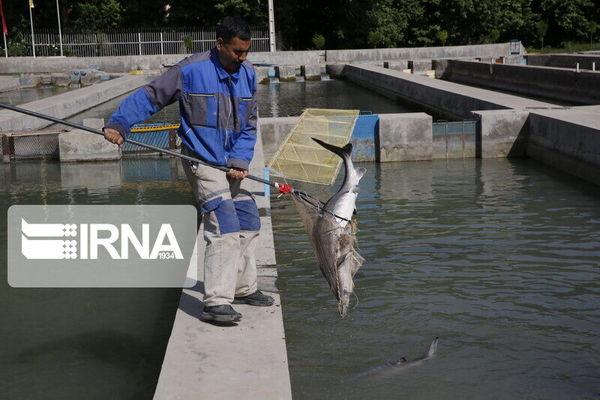 تولید ماهی در کردستان به بیش از ۱۰ هزار تُن رسید