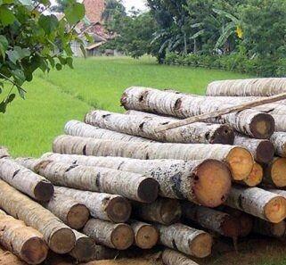 اجرای طرح زراعت چوب در فارس