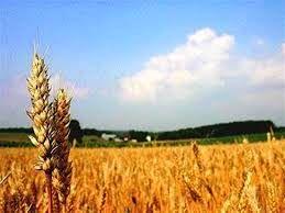پایش سن گندم در بیش از 11700 هکتار اراضی شهرستان بردسیر