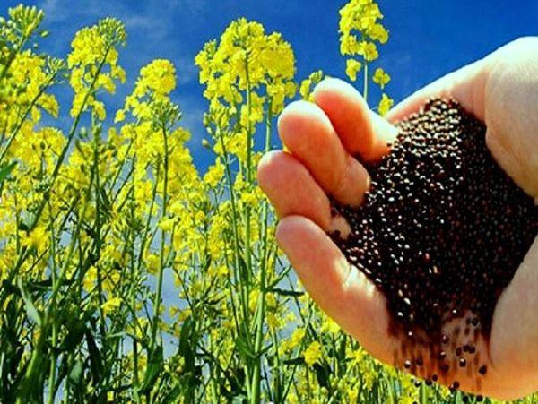 ۵۷ درصد کلزا خراسان شمالی در مانه وسملقان تولید میشود
