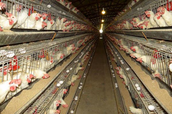 6هزار تن تخم مرغ در واحدهای مرغداری شهرستان قزوین تولید شد