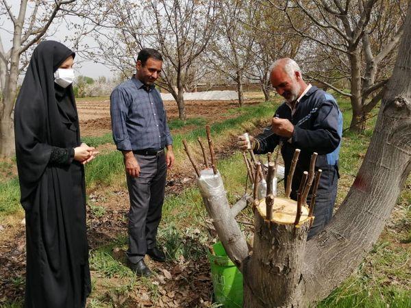 عملیات اجرایی پیوند سرشاخه کاری در باغات زودگل و نامرغوب گردو در شهرستان قزوین آغاز شد