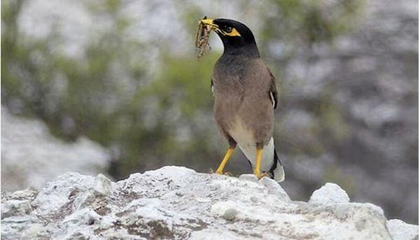 پرندگان ملخخوار باغداران را در مهار این آفت یاری می رساندند