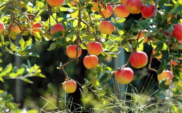 تولید بیش از ۳۰۰ هزار تن محصولات باغی در استان کرمانشاه