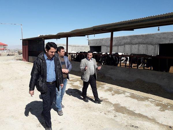 بازدید مدیر جهاد کشاورزی شهرستان فاروج ازگاوداری صنعتی 200 راسی فری استال