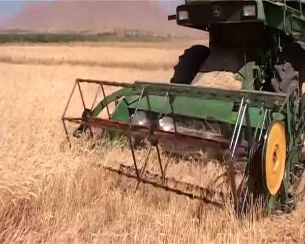 پایان برداشت گندم از مزارع شهرستان فریدونشهر