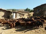 برنامه حفاظت از نژاد بز مرخز کردستان تهیه شد