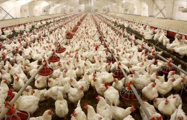 رشد 30 درصدی جوجهریزی در مرغداریهای استان خوزستان