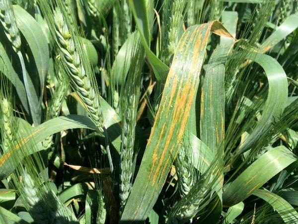 پیش بینی خسارت 10 درصدی بیماری لکه نواری باکتریایی غلات به مزارع گندم و جو
