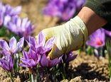 تنها 20 درصد از زعفران تولیدی یزد بسته بندی و فرآوری میشود