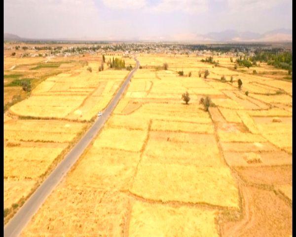 آغاز برداشت گندم از ۶۰۰ هکتار زمینهای کشاورزی بخش میمه