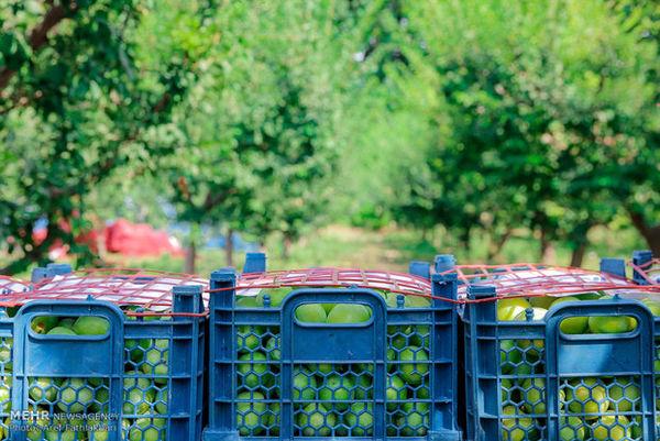 ۵۰ هزار تُن میوه از باغ های سقز برداشت میشود