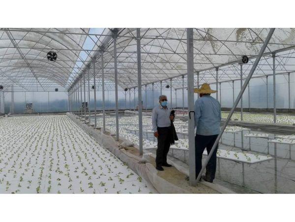 احداث گلخانه هیدروپونیک 1500 متری در نکا/ تولید کاهو فرانسوی