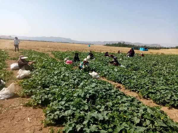 پیش بینی تولید 1500 تن کدو در سپیدان