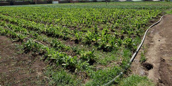 آغاز کاشت سبزی و صیفی خارج از فصل در هرمزگان