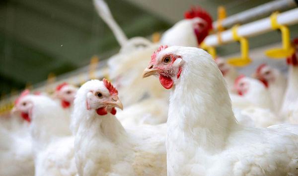 مرغها تلف نشدهاند