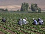 فریدن، قطب تولید سبزیجات برگی در استان اصفهان