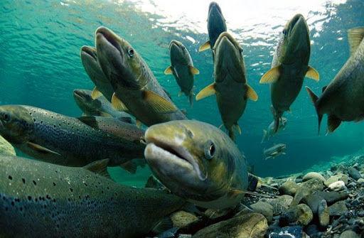 جای خالی ایجاد صندوق ملی آبزیان و اصلاح نژاد ماهی در طرح تقویت امنیت غذایی کشور و رفع موانع تولید