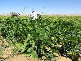 برداشت لوبیا از مزارع شهرستان بن آغاز شد