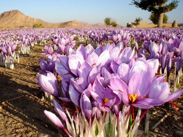۹۲ هکتار از اراضی زراعی بافق زیرکشت زعفران
