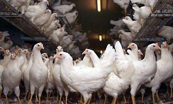«سیمای آبادی» از تولید مرغ گوشتی و تخمگذار می گوید