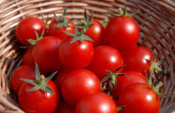 برداشت گوجهفرنگی از مزارع آذربایجانغربی آغاز شد