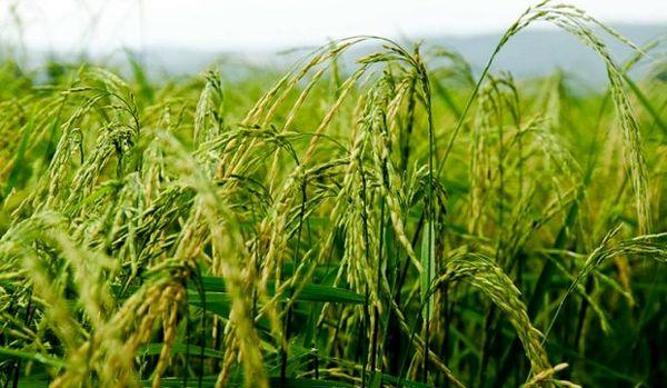 پرداخت بالغ بر ۱۴ میلیارد یارانه بذر در استان گیلان