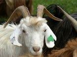 افزایش تولید گوشت و شیر در واحد سطح نتیجه برنامه های اجرا شده در استان کرمان