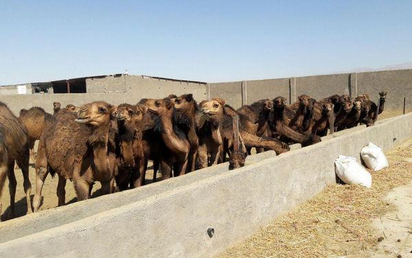 خشکسالی باعث سقطجنین شترهای نهبندان میشود