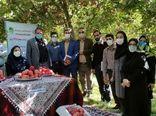 جشنواره آنلاین برداشت سیب در شهرستان بروجرد