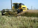 برداشت کلزا از مزارع استان  قزوین آغاز شد