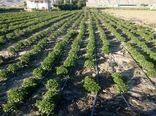 کشت پایلوت گیاهان دارویی در شهرستان کیار