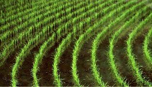 """""""خشکهکاری برنج"""" در گرو مدیریت مصرف آب"""