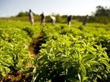 تحقق اقتصاد مقاومتی با توسعه کشت گیاهان دارویی