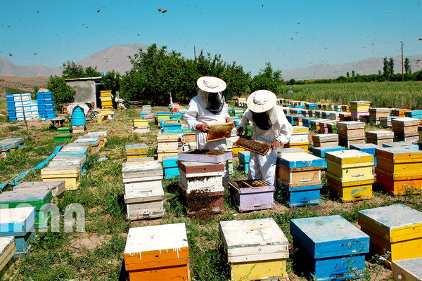 پیشنهاد بیمه تامین اجتماعی زنبورداران در انتظار تصویب در لایحه بودجه سال آینده