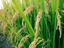 خوشهدهی 90 درصدی برنج در شالیزارهای سیمرغ
