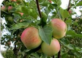 پیشبینی برداشت حدود 60 هزار تن سیب در خراسان شمالی