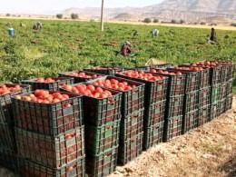 پیش بینی تولید بیش از 200 هزارتن گوجه فرنگی در کازرون