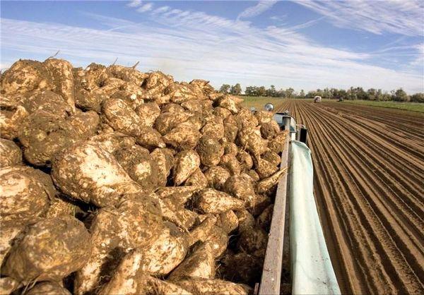 پیشبینی برداشت بیش از ۸۰ هزارتن چغندر قند در چهارمحال و بختیاری