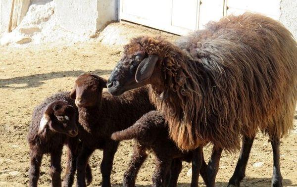 اجرای طرح تلقیح مصنوعی گوسفند بومی و نژاد رومانف در شهرستان بروجن