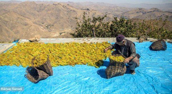 تولید 8 هزار تن کشمش در کردستان