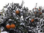 اصول پیشگیری از خسارتزایی مخاطرات سرمازدگی، یخزدگی و برف در بخش کشاورزی