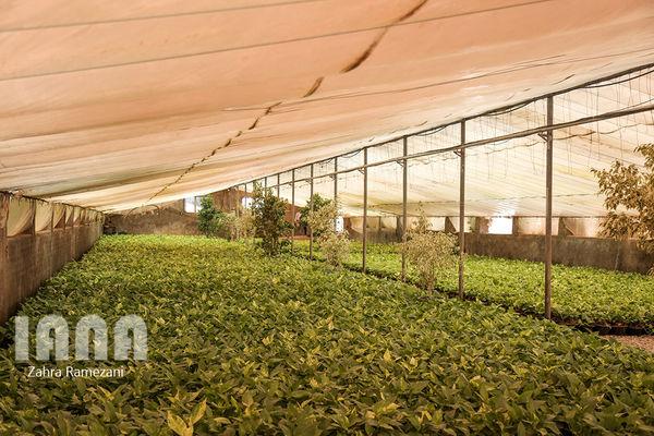 پیش بینی تولید ۲.۲ میلیون تن سبزی و صیفی گلخانهای