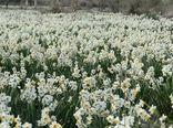 برداشت 100میلیون شاخه گل نرگس در کازرون