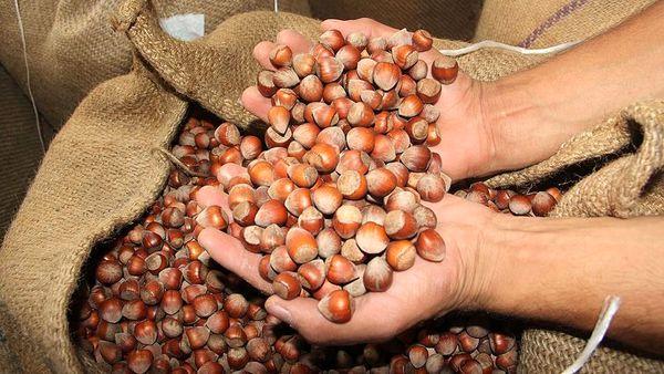 حمایت از راه اندازی تشکل فندق در دستور کار جهاد کشاورزی قزوین قرار دارد
