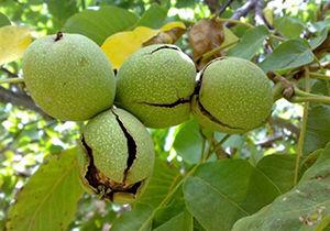 آغاز برداشت گردو در باغات اصفهان/پیوند گردوی «سوزنی» با «چندلر»