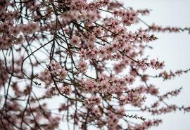 شکوفهباران درختان یزد در سردترین فصل سال