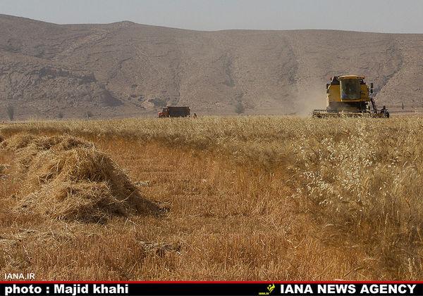 پیش بینی برداشت ۷۵۰ هزار تن گندم از مزارع همدان