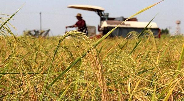 آغاز برداشت برنج از شالیزارهای پارسآباد مغان