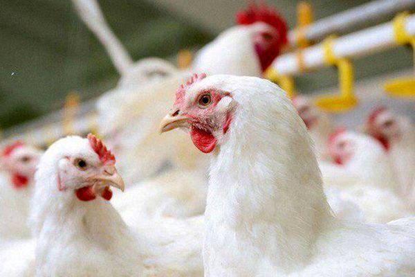 آذربایجان شرقی، عاری از آنفلوآنزای پرندگان